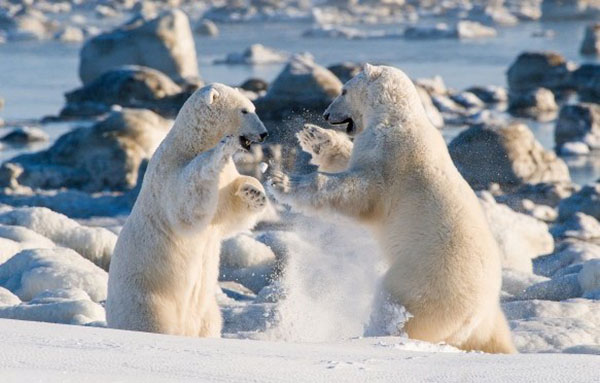 polar bear hudson bay